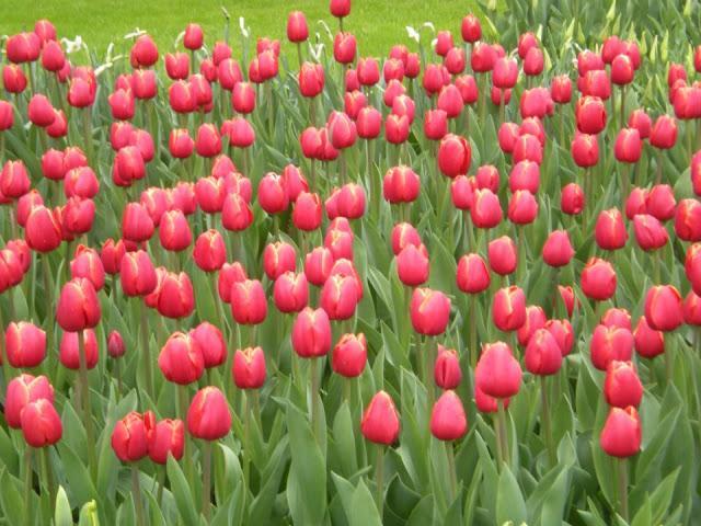 13fcb-foto22-tulipasnoparque