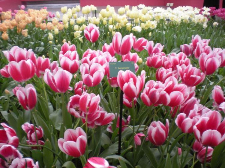 31b37-foto1-tulipasnaholanda