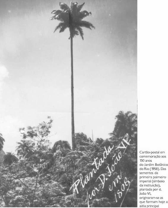 Foto 6 - Palmeira Imperial no Jd. Botânico