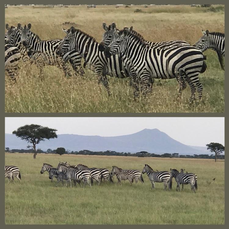 Foto 1 - Zebras