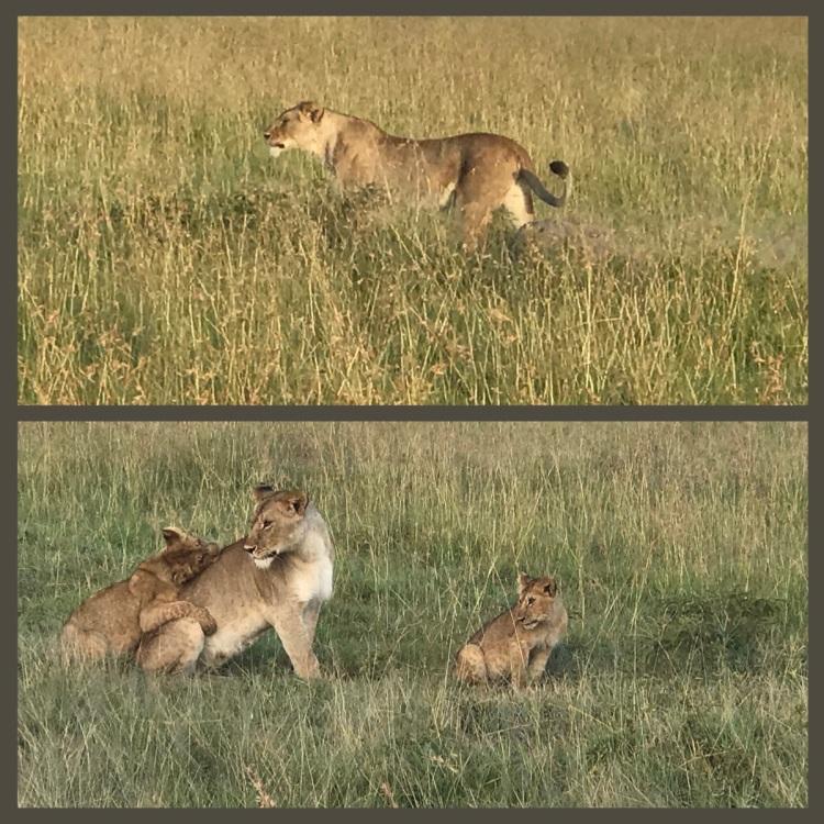 Foto 6 - Leões
