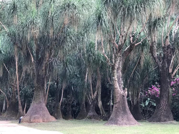 Foto 3 - Árvore Chifre de veado