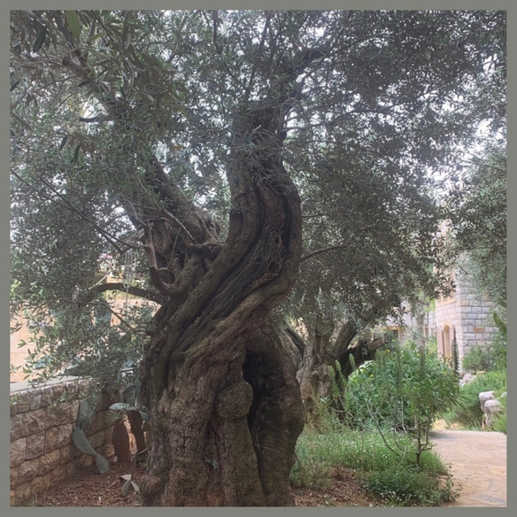 Foto 1a - Oliveira de 3.000 anos